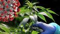 """""""Trávou"""" proti koronaviru: Marihuana může viru blokovat cestu do buněk, odhalili vědci"""