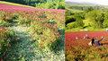 Krásná fotka v růžovém poli? Turisté ničí úrodu jetele, zlobí se agrární komora