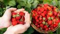 Sladké jahodové recepty: Připravte si skvělou marmeládu, šťávu nebo crumble
