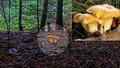 Živý přenos z lesa má nové modelky! Podívejte se, jak rostou lišky!