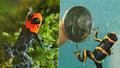 Nejjedovatější žába planety v Zoo Praha. Začíná výstava barevných šípových žab