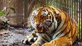 Tygr pokousal na Mělnicku opilce, který mu strčil ruku do klece