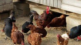 Ženu (†76) při sběru vajec zabil kohout! Proklovl jí křečovou žílu