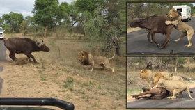 Krvelačné safari: Smečka lvů ulovila a sežrala buvola přímo před vyděšenými turisty