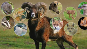 Bobr, muflon, jezevec a teď i šakal: I tato zvířata žijí v Praze!
