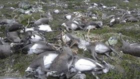 Bouře zabila 300 sobů najednou. Podle ochránců jde o přírodní pohromu