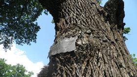Pražské stromy nezapomínají. Na památné a významné dřeviny narazíte po celém městě
