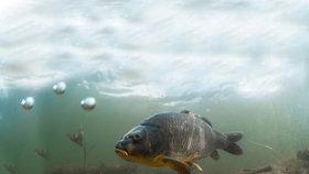 Nejlépe to v Praze plave kaprům. Rybáři letos vysadili více ryb než loni