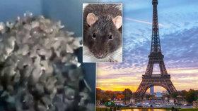 Horor v Paříži: Turistická místa zaplavili potkani! Skáčou lidem po krku