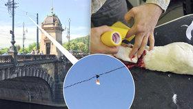Zabiják labutí! O troleje na mostech se ročně zraní desítky ptáků, nepomáhají výstražné terčíky