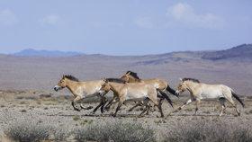 Do Mongolska odletí další koně Převalského: Pražská zoo zájemcům ze stepi pošle pohlednici