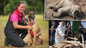 Malina pro slona: Belgický ovčák bude hlídat slony před pytláky v Africe, pomůžete s výcvikem?