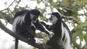 Mláďata gueréz »bojují« v pražské zoo: Kdo ubrání větev, vyhrál!