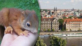 """""""Oříškožraví"""" sousedé v betonové džungli: Pražské veverky mají rády klid, samotu a plné bříško"""