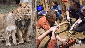 Smutek v pražské zoo: Lvice Ginni porodila mrtvé mládě, oplodnili ji uměle