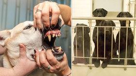 Labradorům vytrhali kvůli experimentu zuby. Teď mají zemřít, lidé protestují