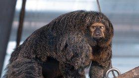 Opičí kulturistka fascinuje návštěvníky zoo. Obří svaly má dominantní samice