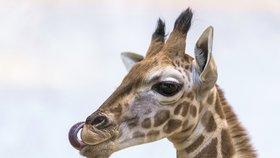 Benjamínek žirafí rodiny pražské zoo: Dvouměsíčnímu samečkovi dali jméno Matyáš
