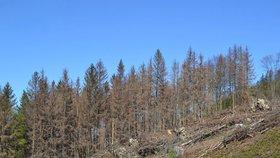 Kůrovec a sucho mění i lesní školky: Výrazně stoupl zájem o listnáče, zdražují