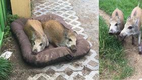 Dojemný příběh pražských čuníků: Roztomilouši Cyril a Štika (3 měs.) hledají nový domov