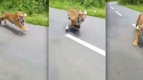 Rozzuřený tygr zaútočil na motorkáře: O jeho úmyslech nebylo pochyb!