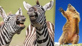 """""""Vysmáté"""" zebry, sysel dramatik i zděšení vydry: Hledáme nejvtipnější fotku přírody"""