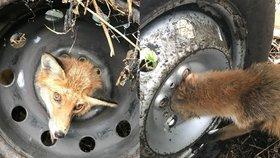 Unikátní záchranná akce: Liška se hlavou zasekla v disku pneumatiky, co zabralo?