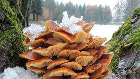 Penízovka sametonohá, léčivá zimní houba. Kde ji najdete a jak z ní udělat tinkturu?