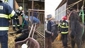 """VIDEO: Dramatická záchrana: Kobyla upadla a nemohla na nohy! Pomohla """"koňská síla"""" pražských hasičů"""