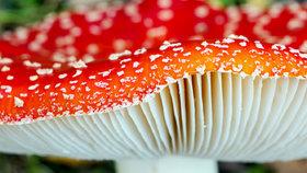 Muchomůrka červená jedovatá i léčivá. Jak z ní vyrobit zábal na klouby?