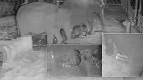 VIDEO: Takhle se narodila sloní holčička! Porod zachytily kamery v pražské zoo