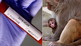 Agresivní opice napadly zdravotníka a ukradly vzorky krve s koronavirem. Expert řekl, co hrozí