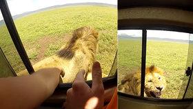 Nejhloupější turistka všech dob? Žena si chtěla na safari pohladit lva, ihned toho litovala