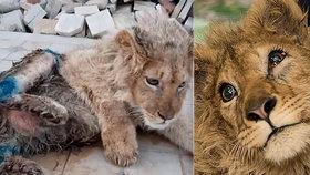 Neuvěřitelné týrání zvířat: Chovatel zlomil nohy lvíčeti, aby nemohlo utéct při focení s turisty