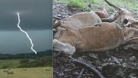 Chovatel Pavel přišel po bouřce a uviděl tu zkázu: Výboj mu zabil celé stádo!