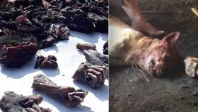 Týraní psi a opičí ruce na prodej: Odporné záběry z indického trhu