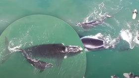 Velryba zaútočila na drzé surfaře: Obří ocasní ploutví chránila své mládě