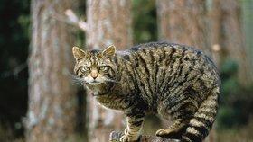 Austrálie plánuje kočičí masakr: Do roka mají zemřít miliony zvířat!