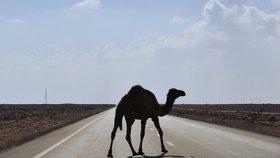 Masový odstřel korábů pouště: V Austrálii zlikvidovali 5 tisíc velbloudů!