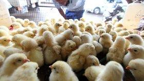 Horko masakruje kuřata. Pomohlo by sprchování, říkají veterináři