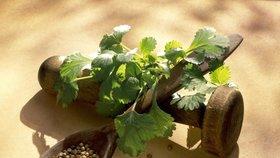 Koriandr: Jak si doma vypěstovat čerstvý a kdy ho použít?