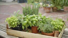 Bylinky: Pěstujte je i v zimě