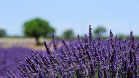 Levandulový olej přispívá k růstu prsou? Aromaterapeutka zmínila důkazy