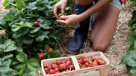 Vyražte za sladkým pochutnáním: Farmáři nabízí levně samosběr jahod