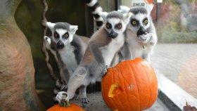 To je ňamka: Zvířatům v královédvorské zoo začaly dýňové hody!