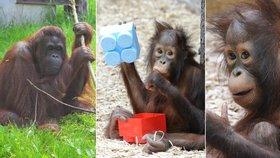 Zoo Dvůr Králové nad Labem slaví úspěch: Nejkrásnější na světě je orangutanka Tessa!