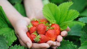 Vyberte si mezi jahodníky favority: Budou z nich sazenice na příští rok