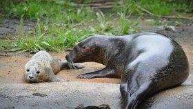 Velký smutek v jihlavské zoo: Tulení mládě uhynulo!