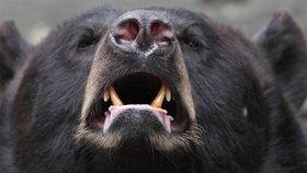 Hladoví medvědi útočí na turisty. Lezou do batohů, jeden se vloupal do stanu