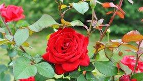 Netroufáte si na růže? Není to tak složité. Právě teď je čas na sázení
